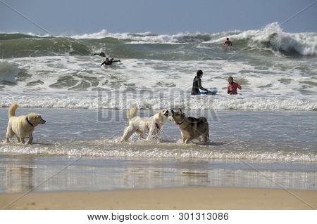 Tel Aviv, Israel - April 23, 2017: Happy Husky Dogs And Surfers At The Gordon Beach. Tel Aviv, Israe
