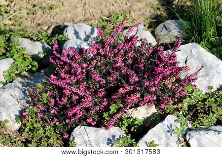 Common Heather Or Calluna Vulgaris Or Ling Or Heather Low Growing Perennial Shrub Flowering Plant Wi