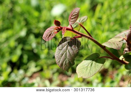 Dark Green To Red Leathery Leaves And Hairy Stem Of Kiwi Or Kiwifruit Or Chinese Gooseberry Woody Vi