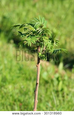 Staghorn Sumac Or Rhus Typhina Small Dioecious Deciduous Tree With Light Green Leaves Planted In Loc