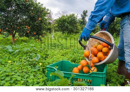 Orange Picker At Work While Unloading A Basket Full Of Oranges In A Bigger Fruit Box During Harvest