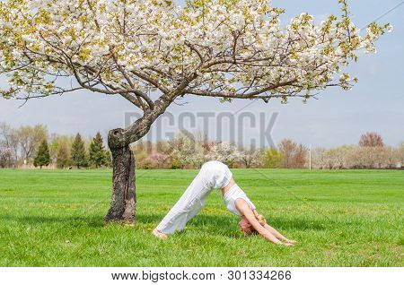 Woman Is Practicing Yoga, Doing Ardha Matsyendrasana Pose Near Blossom Tree