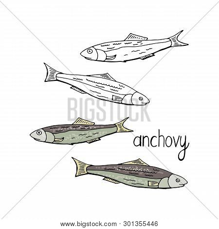 Hand Drawn Fish Anchovy Black And White And Color Isolated On White Background. Vector Anchovy
