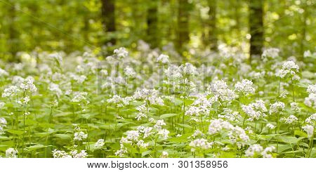 Fluffy Flowers Of The Lunaria Blooming In The Summer Sunny Forest