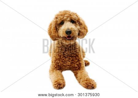 golden doodle dog. isolated on white. room for text. golden retriever and poodle mix dog.