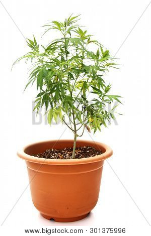 Marijuana Plant. Cannabis plant growing in potting soil. isolated on white. room for text. medical cannabis plant. recreational marijuana plant.
