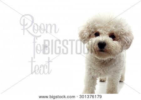 Bichon Frise Dog. Bichon Frise Puppy. Isolated on white. Room for text.