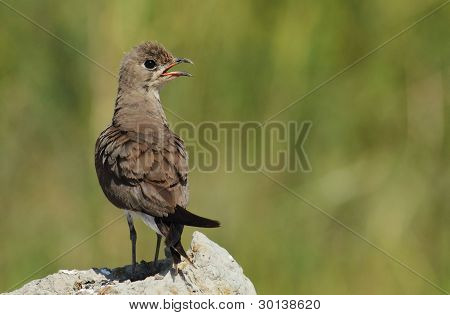The Collared Pratincole is a bird of open country, and is often seen near water in the evening, hawking for insects. It is found in the warmer parts of Europe, southwest Asia and Africa. poster