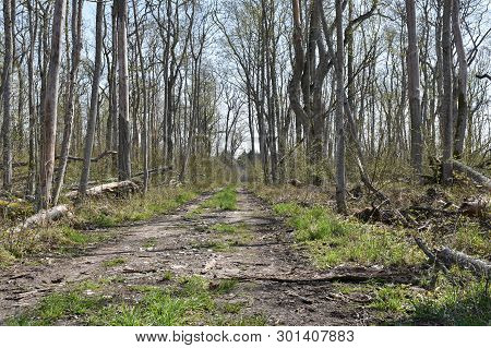 Dirt Road Through A Deciduous Forest By Springtime At The Swedish Island Oland