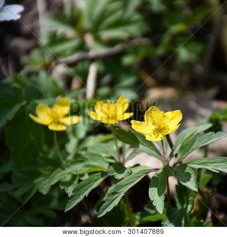 Springtime Flowers, Sunlit Blossom Wood Anemones Closeup