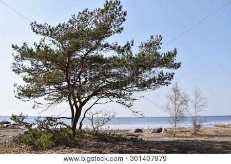 Idyllic Coastal View With A Big Pine Tree At The Baltic Sea By The Coast Of The Swedish Island Oland