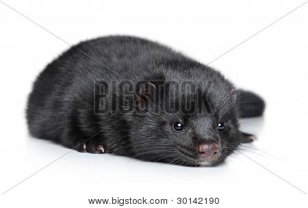 black American Mink on a white background poster