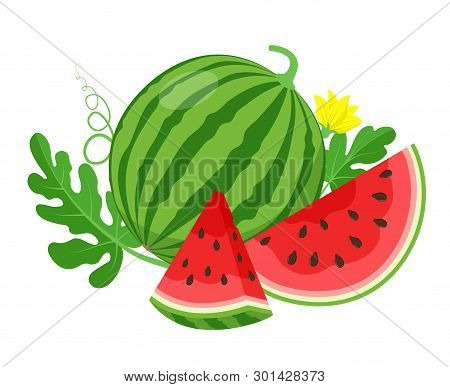 Watermelon And Juicy Slices, Green Leaves And Yellow Watermelon Flower Vector Illustration In Flat D