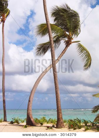 Bended palm tree on a beach facing the sea. poster