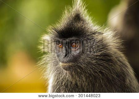 Portrait Silvered leaf monkey (Trachypithecus cristatus) or Silvery lutung (silver leaf monkey). Silvery langur Malaysia poster
