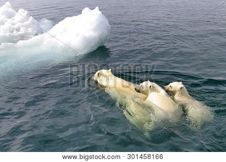 The White She-bear With The Cubs Floats In The Bering Sea. A Polar Bear, A Northern Bear, A Umka (la
