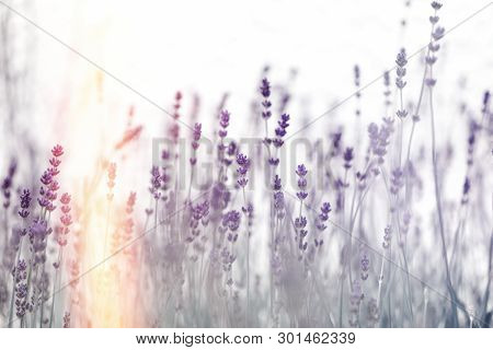 Beautiful Lavender Flower, Selective And Soft Focus On Lavender