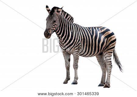 Zebra Isolated On White Background - Portrait.