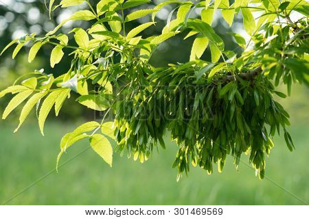 A branch of the ash tree Fraxinus