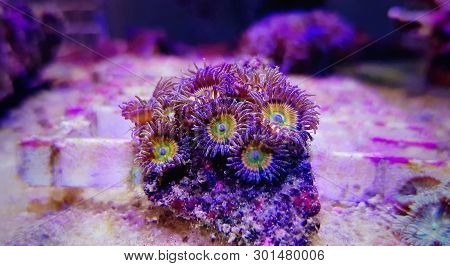 Sunny D, Zoanthus polyps colony aquacultured in coral reef aquarium tank poster