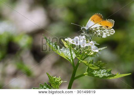 Orange tip butterfly feeding on flower