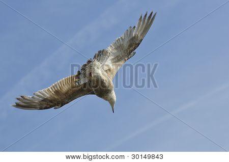 Herring gull in fly