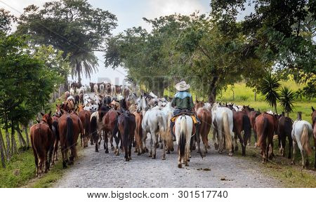 A cowboy driving a string of horses along a rural road in Costa Rica