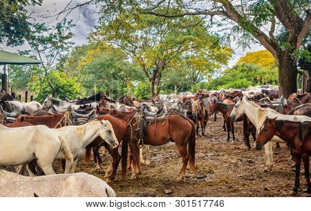 Large group of mules in a farm in Guanacaste province in Costa Rica