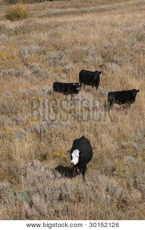 Cattle on Open Range