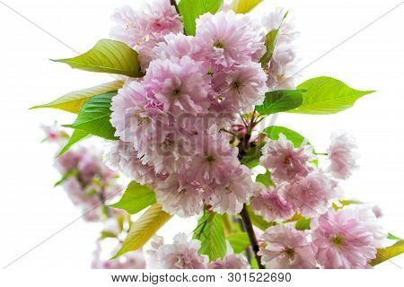 Japan sakura tree branch with lavish plentiful pink flowers and green leaves. poster