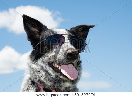 Black and white spotted Texas Heeler wearing sunglasses, the coolest dog on the block; with sky background