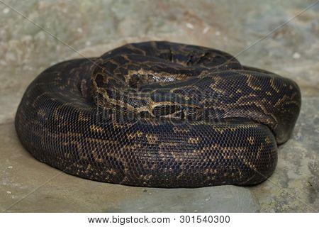 Burmese python (Python bivittatus), also known as the Burmese rock python.