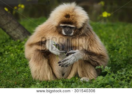 Lar gibbon (Hylobates lar), also known as the white-handed gibbon.