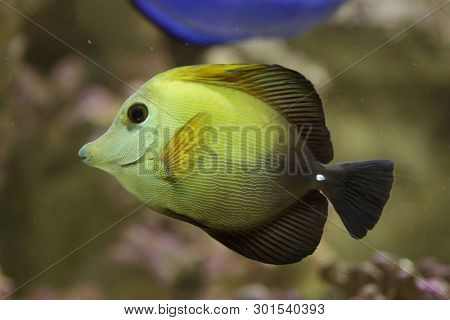 Brown tang (Zebrasoma scopas), also known as the brown surgeonfish.