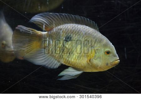 Chameleon cichlid (Australoheros facetus), also known as the chanchito.