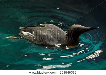 Common murre (Uria aalge), also known as the common guillemot.
