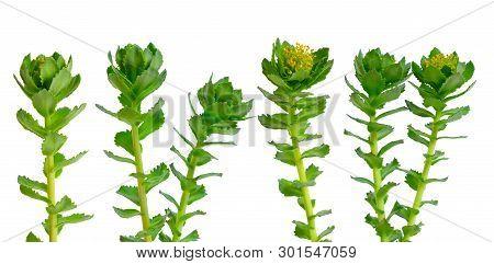 Rhodiola Rosea Or Golden Root, Rose Root, Roseroot, Aarons Rod, Arctic Root, Kings Crown, Lignum Rho