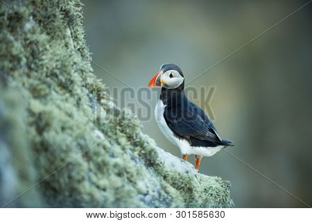Fratercula Arctica. Norwegian Wildlife. Beautiful Picture. From The Life Of Birds. Free Nature. Rund