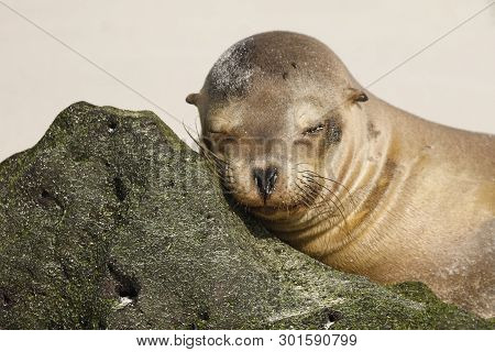 Young Galapagos Sea Lion (zalophus Wollebaeki) Resting Its Head On A Rock - Galapagos Islands
