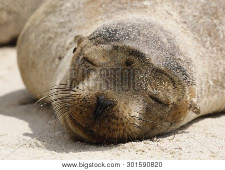 Young Galapagos Sea Lion  (zalophus Wollobaeki) Resting On The Beach - Galapagos Islands