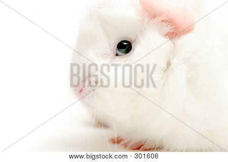 Guinea Pig Highkey