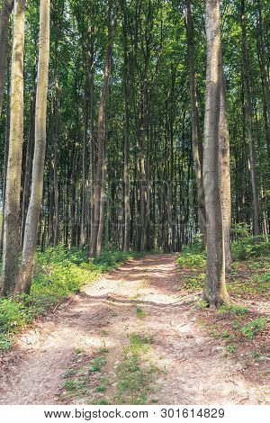 Dirt Road Into The Deep Beech Forest. Tall Trees With Green Lush Crowns. Beautiful Nature Scenery In