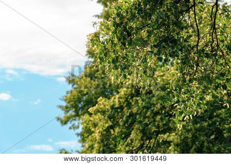 Branches Of Linden Tree In Blossom. Beautiful Summer Nature Scenery. Background With Blurred Clouds