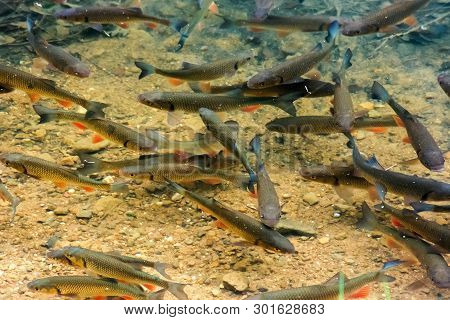Trout On The Bottom Of The Lake. Lots Of Fish Swimming Freely In Clear Water. Location Vihorlat Lake