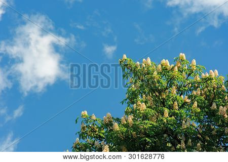 Branches Of Chestnut Tree In Blossom.  Beautiful Summer Nature Scenery. Blue Sky With Fluffy Clouds
