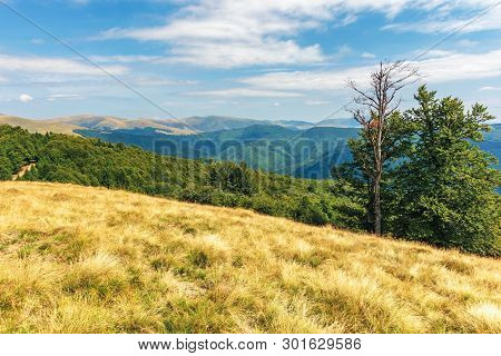 Carpathian Sub Alpine Meadows In August. Beautiful Mountain Landscape. Primeval Beech Forest On The