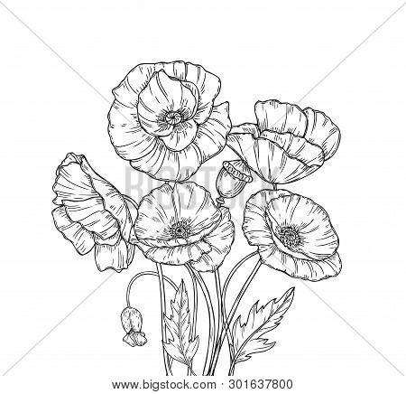 Poppy Bouquet. Line Art Poppies Flower Sketch Drawing Wall Artwork Decorative Plant Poppy Flower Bud