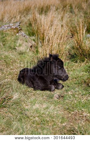 Baby Welsh Mountain Pony Foal Lazing In The Sun