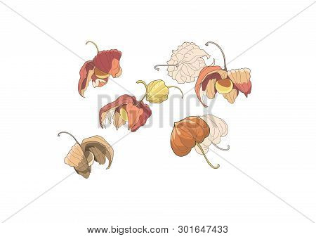 Physalis Set. Physalis Graphic Illustration Isolated On White Background. Vector Drawing Of Physalis