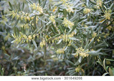 Olives in bloom. Olive trees garden. Mediterranean olive field, spring season. Italian olive's grove. Olive farm.